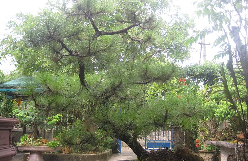 Một cây thông tươi tốt cũng là biểu tượng cho sự hạnh phúc trong hôn nhân.
