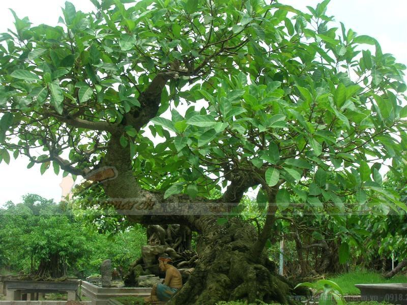Trồng cây Đại trước cửa nhà thờ họ. Cây Đại mang vẻ đẹp thoát tục, linh thiêng