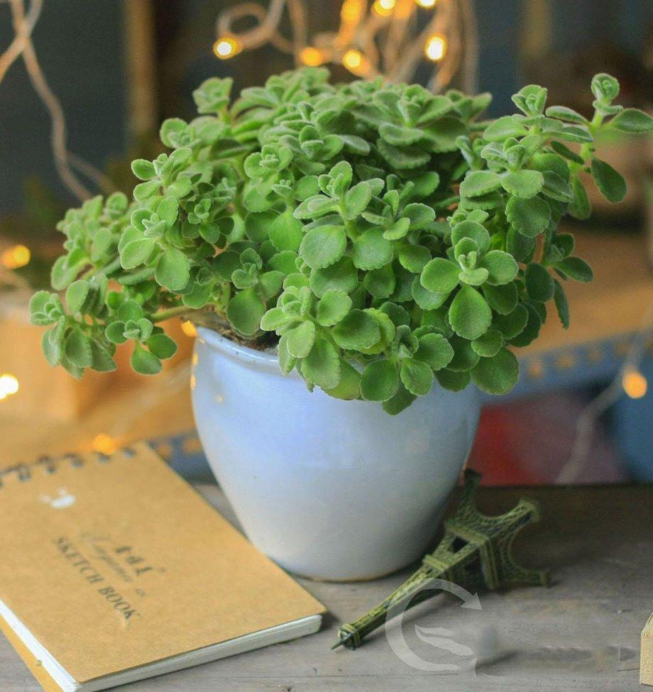 Thêm bình an và may mắn khi đặt cây ngọc bích tại bàn thờ